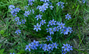 Beautiful Little Blue Flowers