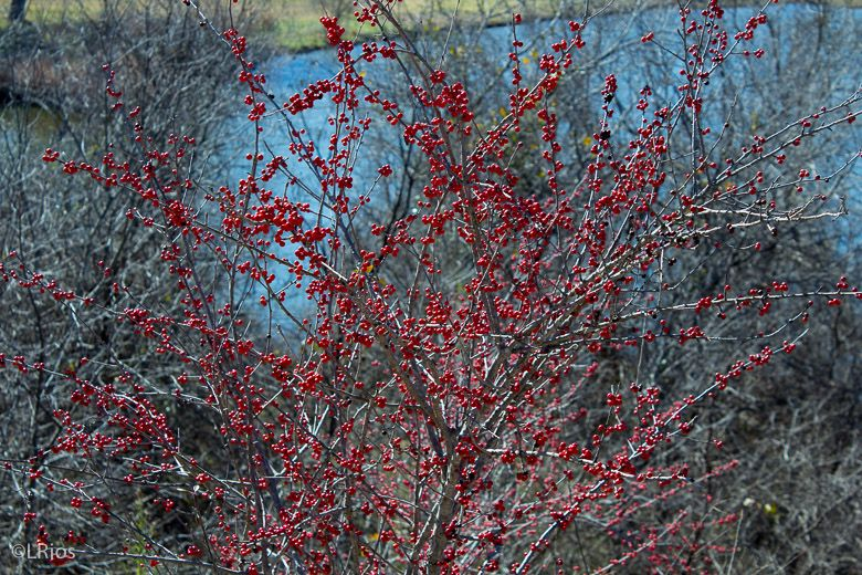Red Berries by the lake